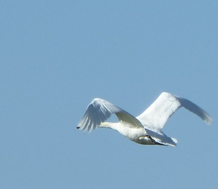 swan, flying