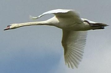 swan couple 2