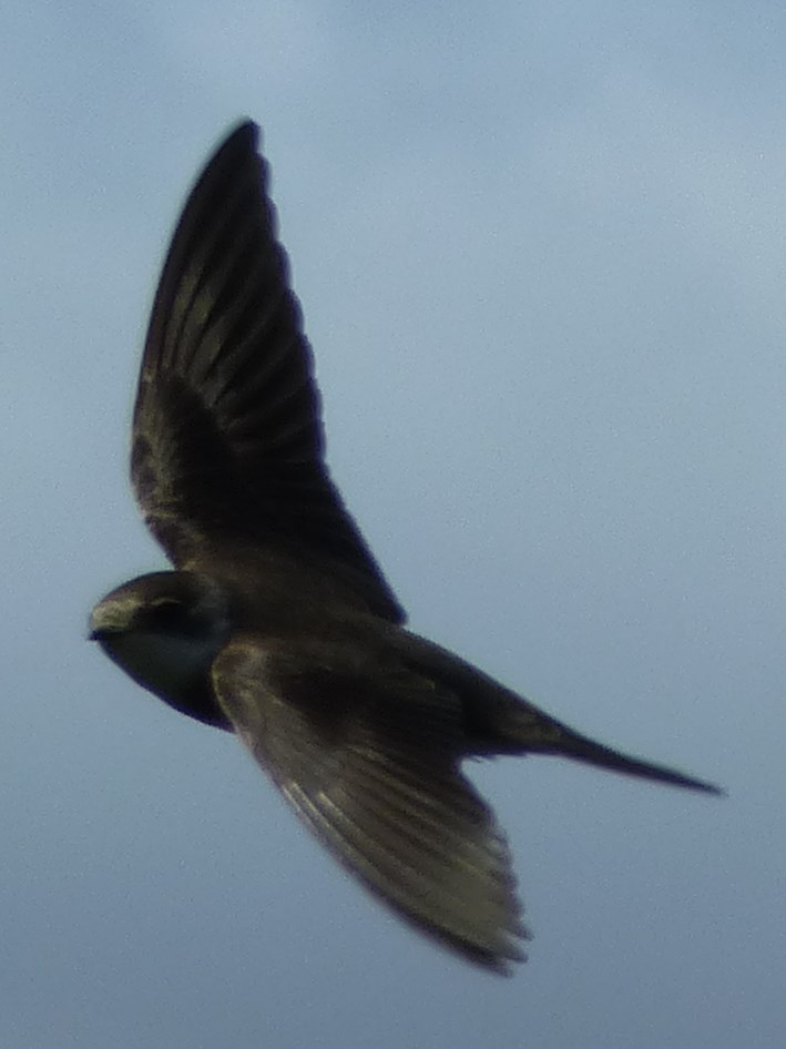 swallow 2
