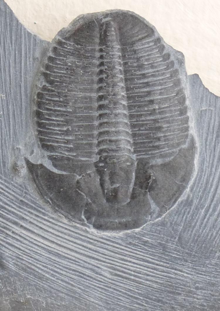 Trilobite 1