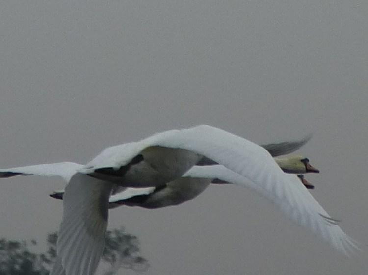 swan 11 9 14