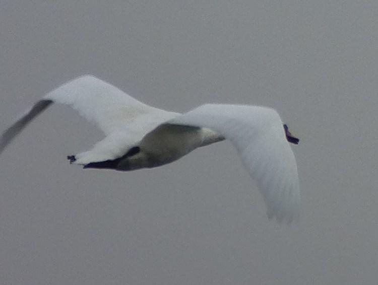 swan September