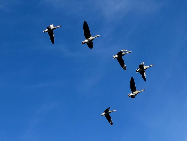 a-v-of-geese