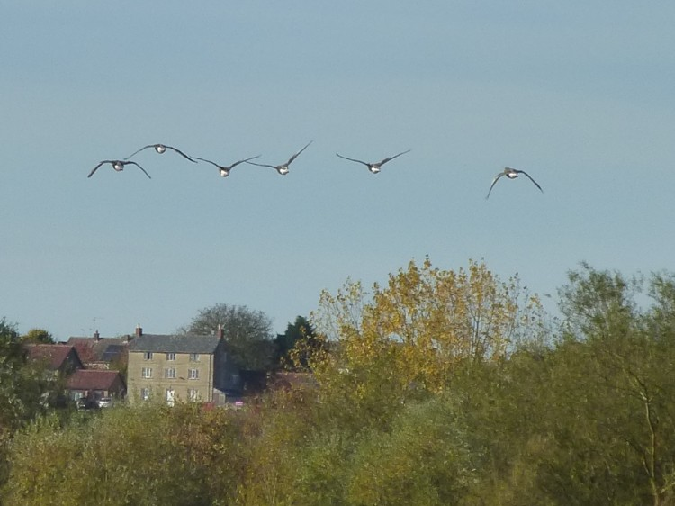 geese-above-the-houses