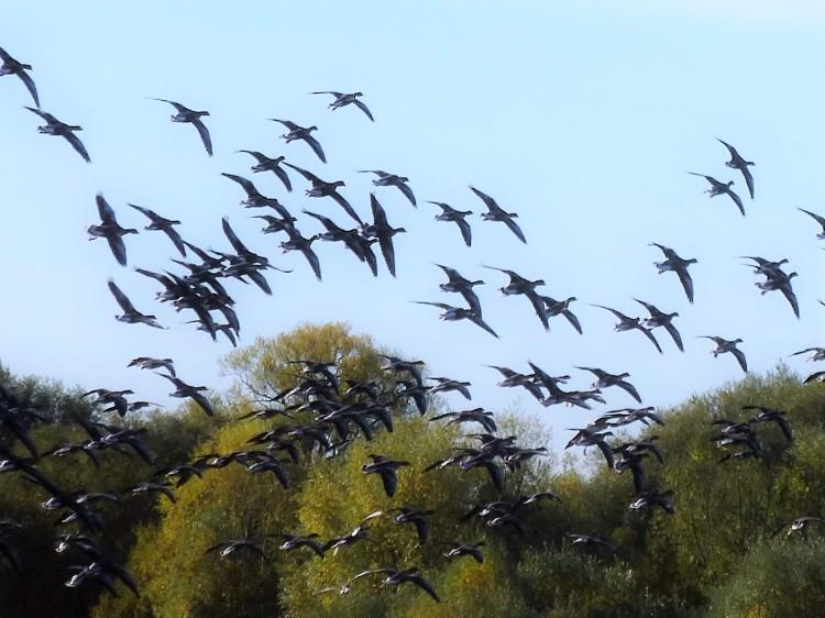geese-flocking-glorious