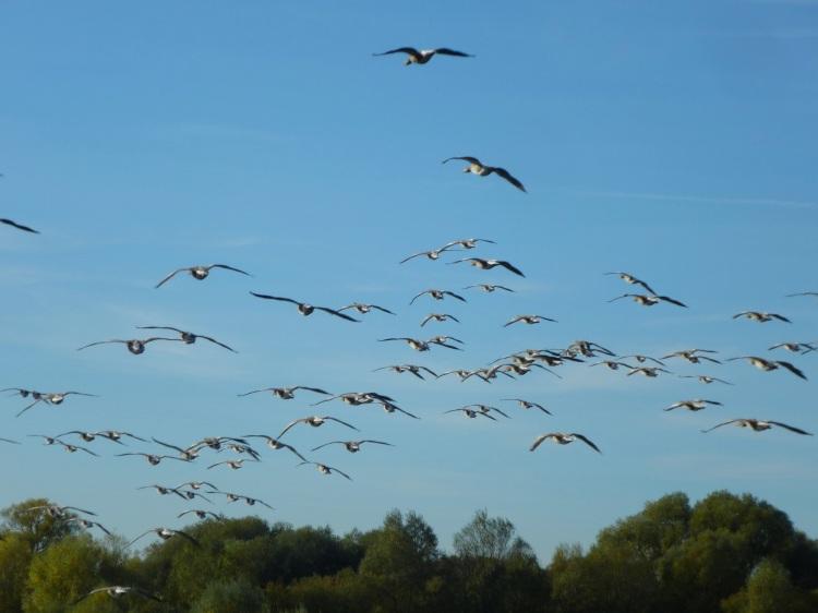 geese-flocking
